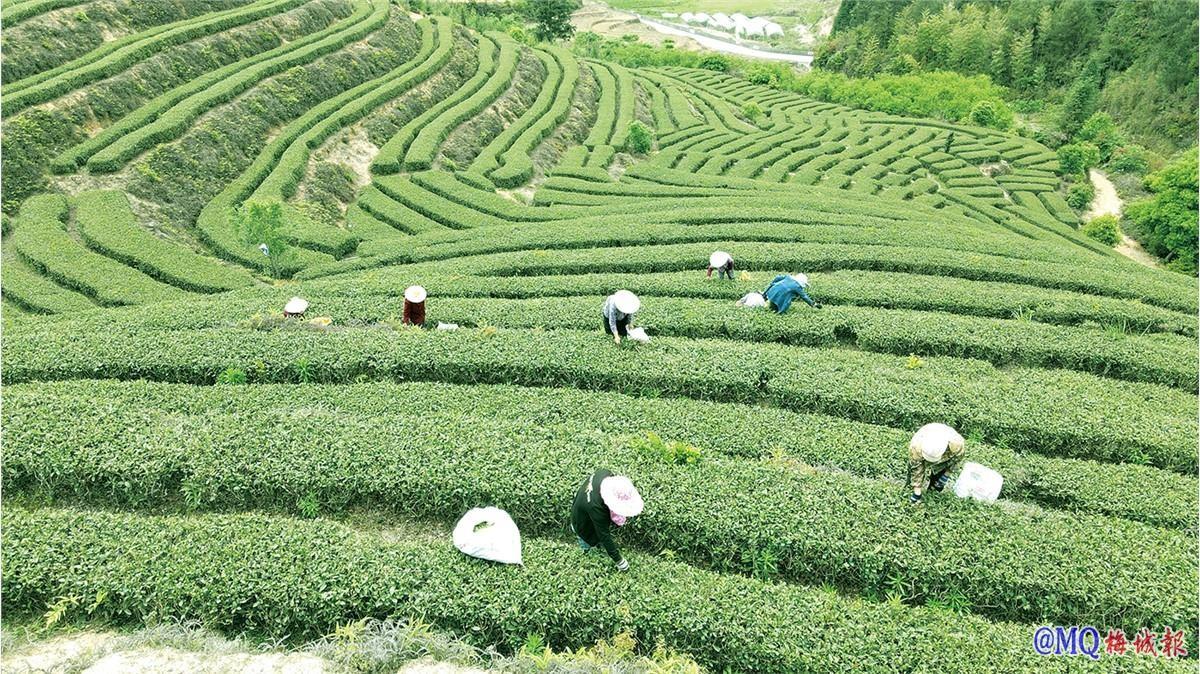 发展茶产业带动振兴乡村